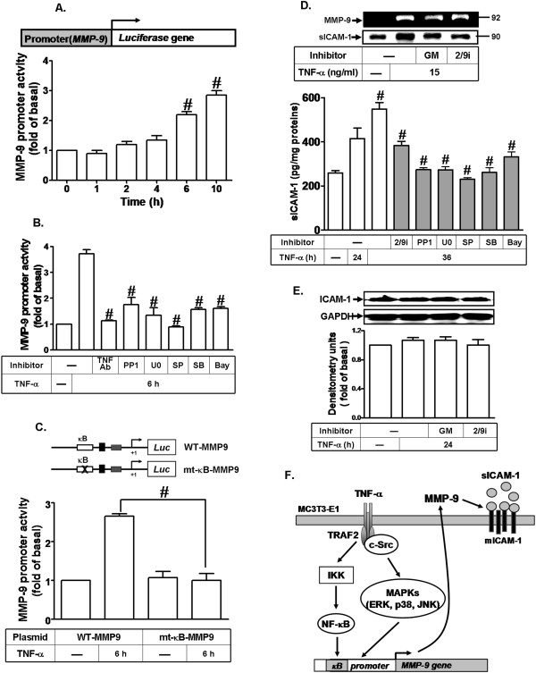 TNF-α-induced MMP-9 expression is mediated through the NF-κB element in MMP-9 promoter leading to soluble ICAM-1 release. (A) Cells were transiently transfected with a wild-type MMP-9 promoter-luciferase reporter construct (WT-MMP9), and then incubated with TNF-α for the indicated time intervals. (B) The WT-MMP9 transfected cells were pretreated with anti-TNFR1 neutralizing antibody (TNFR-Ab, 10 μg/ml), PP1 (3 μM), U0126 (3 μM), SB202190 (3 μM), SP600125 (3 μM), and Bay11-7082 (10 μM) for 1 h and then incubated with 15 ng/ml TNF-α for 6 h. (C) Cells were transfected with WT-MMP9 or mt-κB-MMP9 for 24 h and then incubated with TNF-α (15 ng/ml) for 6 h. The cell lysates were collected and determined the luciferase activity. (D,E) Cells were pretreated with GM6001 or MMP2/9i for 1 h and then incubated with TNF-α (15 ng/ml) for 24 h. (D, upper panel) Conditioned media were collected and analyzed by gelatin zymography to determine the MMP-9 expression. The conditioned media were analyzed by trichloroacetic acid-protein precipitation and Western blot using an anti-sICAM-1 antibody. (E) The cell lysates were analyzed by Western blot to determine the expression of ICAM-1. (D, lower panel) Cells were pretreated with MMP-2/9i (10 μM), PP1 (10 μM), U0126 (10 μM), SB202190 (10 μM), SP600125 (10 μM), or Bay11-7082 (10 μM) for 1 h and then incubated with TNF-α (15 ng/ml) for the indicated time intervals. The levels of sICAM-1 were determined in conditioned media using an sICAM-1 ELISA kit. Data are expressed as mean±SEM of three independent experiments. # P