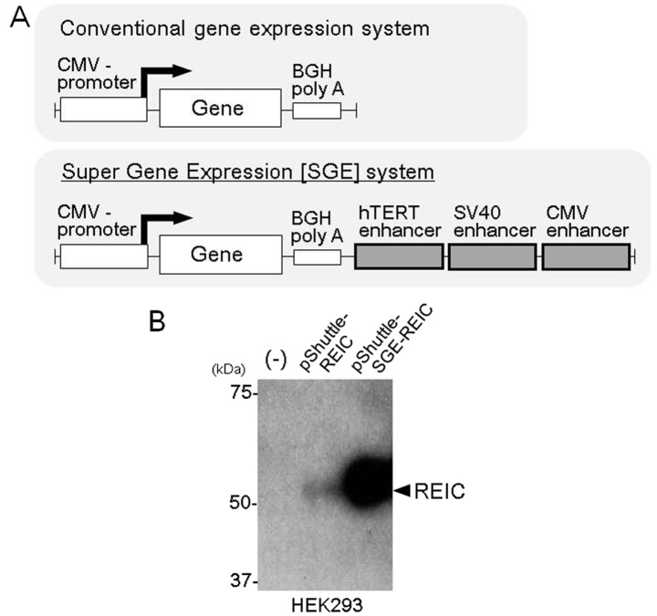(A) A schematic diagram of the conventional gene expression system and the SGE system. In the SGE system, triple translational enhancer sequences (hTERT, SV40 and CMV) were inserted downstream of the BGH polyA sequence. (B) The pShuttle plasmid vector with the conventional system and SGE system encoding the REIC/Dkk-3 gene were termed pShuttle-REIC and pShuttle-SGE-REIC, respectively. The REIC/Dkk-3 expression levels after transfection with the pShuttle-REIC and pShuttle-SGE-REIC plasmids were compared by western blot analysis in HEK293 cells. SGE, super gene expression; hTERT, human telomerase reverse transcriptase; SV40, Simian virus 40; REIC, reduced expression in immortalized cells; CMV, cytomegalovirus; Dkk-3, Dickkopf-3.