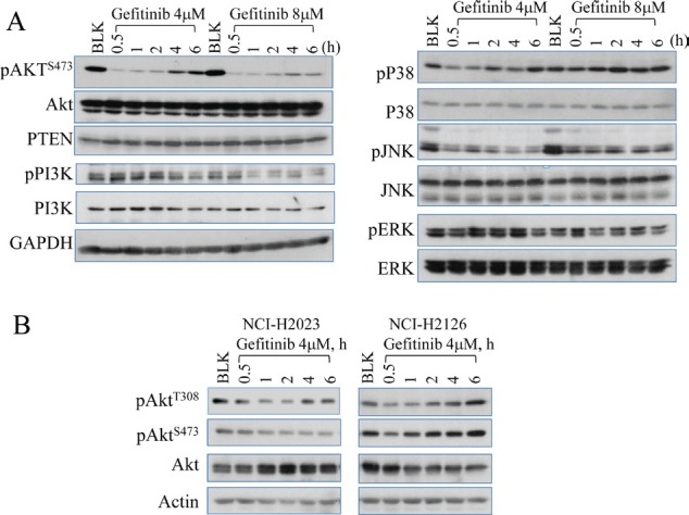 Gefitinib treatment on Akt inhibition and recovery (A) Westernblotting analysis shows that gefitinib inhibits multiple protein regulators involved in EGFR signaling pathway and induces Akt recovery in A549 cells (human lung cancer cell line). The cells were either untreated (blank, BLK) or treated with 4 or 8 µM gefitinib for 0.5 to 6 h. The recovery at the later time points of gefitinib treatment can be seen only for Akt, but not PI3K, p38, JNK, and ERK. (B) Westernbloting data showed Akt recovery in NCI-H2023 cells and NCI-H2126 cells treated with gefitinib for the indicated hours (h).