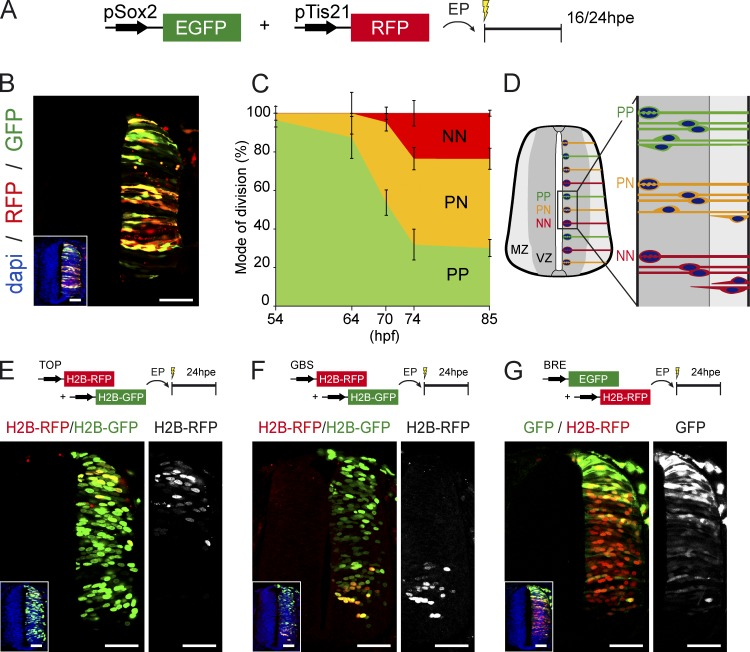 PP, PN, and NN divisions co-occur during spinal cord neurogenesis. (A) In ovo electroporation (EP) of the pTis21:RFP and pSox2:GFP reporters allows us to identify and discriminate the populations and divisions of PP, PN, and NN progenitors within the developing chick spinal cord. (B) Representative neural tube section obtained at 24 hpe of HH14 embryos, showing GFP + ;RFP − (PP), GFP + ;RFP + (PN), and GFP - ;RFP + (NN) cells in response to differential activities of the pTis21:RFP and pSox2:GFP reporters. The inset shows the neural tube morphology, with nuclei stained with DAPI. (C) The proportions of PP, PN, and NN divisions were assessed at 16 hpe at different developmental points, with a combination of the pSox2:EGFP and pTis21:RFP reporters and pH3 staining to reveal mitoses. Error bars show means ± SEM. (D) Illustration of the three modes of divisions occurring along the dorsal–ventral axis of a developing spinal cord during interneuron neurogenesis. (E–G) Representative neural tube sections obtained 24 h after coelectroporation of HH14 embryos with combinations of the TOP:H2B-RFP (E), GBS:H2B-RFP (F), or BRE:EGFP (G) with their respective controls. The insets show the neural tube morphology, with nuclei stained with DAPI. The right images show the signal observed in response to the specific activity of the corresponding reporter. Bars, 50 µM.