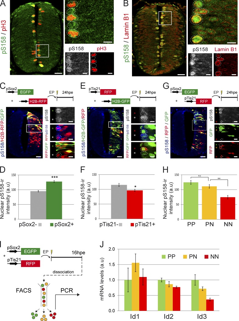 Quantification of endogenous SMAD1/5 activity and Id gene expression in function of the mode of division. (A and B) Representative sections of HH18 neural tubes stained for the active form of SMAD1/5/8 (pS158) and pH3 (A) or lamin B1 (B). (C–H) Analysis of the endogenous SMAD1/5/8 activity in the distinct modes of divisions. Neural tube sections were stained for pS158 24 hpe of HH14 embryos with a combination of the pSox2:EGFP and the control <t>H2B-RFP</t> vector (C), the pTis21:RFP and the control H2B-GFP vector (E), or both pSox2:EGFP and pTis21:RFP reporters (G). The intensity of the mean nuclear pS158 staining was measured in pSox2 − and pSox2 + mitoses (D), in pTis21 − and pTis21 + mitoses (F), or in mitotic GFP + ;RFP − (PP), GFP + ;RFP + (PN), and GFP − ;RFP + (NN) progenitors (H). (I) Illustration of the methodology used to analyze the levels of Id1/2/3 transcripts expressed by the PP, PN, and NN subpopulations. (J) Semiquantitative PCR analysis of the mRNA levels of Id1, Id2, and Id3 transcripts expressed by GFP + ;RFP − (PP), GFP + ;RFP + (PN), and GFP − ;RFP + (NN) cells. a.u., arbitrary unit; EP, electroporation. Error bars show means ± SEM. *, P