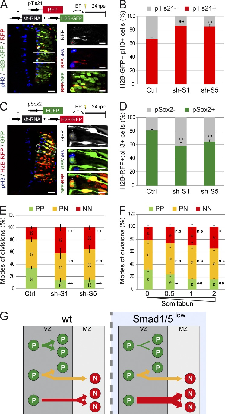 SMAD1/5 activity is required to maintain self-expanding divisions. (A–D) Analysis of neurogenic (PN + NN) and progenitor-generating (PP + PN) divisions in vivo. Transverse sections were stained for pH3 to identify mitotic progenitors at 24 hpe of HH14 embryos with control (Ctrl) or Smad1/5 shRNA (sh-S1 and sh-S5) constructs, together with the pTis21:RFP reporter and a control H2B-GFP vector (A) or with the pSox2:GFP reporter and control H2B-RFP vector (C). The higher magnification pictures originate from the corresponding insets. Proportions of mitotic electroporated (H2B-GFP + ;pH3 + [B] or H2B-RFP + ;pH3 + [D]) progenitors based on the activity of the pTis21:RFP (B) or pSox2:EGFP (D) reporters. (E) Proportions of the three modes of divisions (PP, PN, and NN) obtained 24 hpe with control or Smad1/5 shRNA vectors (sh-S1 or sh-S5). These percentages were deduced from the earlier results, considering that the %PP = %pTis21 − , %NN = %pSox2 − , and %PN = 100 − (%PP + %NN). (F) Proportions of the modes of divisions obtained 24 hpe with 0, 0.5, 1, or 2 µg/µl Somitabun. (G) Illustration of the increase in NN divisions obtained at the expense of PP divisions after SMAD1/5 inhibition in spinal neural progenitors. EP, electroporation; wt, wild type. Error bars show means ± SEM. *, P