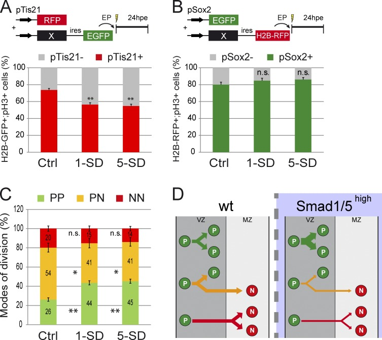 Strong SMAD1/5 activity promotes PP divisions at the expense of PN and NN divisions. (A and B) Proportions of mitotic electroporated progenitors (H2B-GFP + ;pH3 + [A] or H2B-RFP + ;pH3 + [B]) based on the activity of the pTis21:RFP (A) or pSox2:EGFP (B) reporters at 24 h after coelectroporation of HH14 embryos with control (Ctrl), SMAD1-SD (1-SD), or SMAD5-SD (5-SD). (C) Percentages of the three modes of divisions (PP, PN, and NN) obtained at 24 hpe with the constructs indicated and deduced from earlier results, considering that %PP = %pTis21 − , %NN = %pSox2 − , and %PN = 100 − (%PP + %NN). (D) Illustration of the increase in PP divisions obtained at the expense of PN and NN divisions after SMAD1/5 overactivation in spinal progenitors. EP, electroporation; wt, wild type. Error bars show means ± SEM. *, P