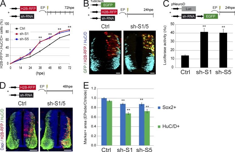 SMAD1/5 inhibition triggers premature differentiation in a cell-autonomous manner. (A) Proportions of electroporated cells differentiated into neurons (H2B-RFP + ;HuC/D + ) obtained after electroporation of HH14 embryos with control (Ctrl) and Smad1/5 shRNA (sh-S1 and sh-S5) constructs, in sections of neural tubes recovered at the times indicated (hpe). (B) Representative sections stained for HuC/D expression 24 h after coelectroporation with the Tubb3enh:EGFP reporter, the control H2B-RFP vector, and control or Smad1/5 shRNA (sh-S1/5). (C) Quantification of luciferase activity (expressed in relative luciferase units [rlu]) driven by the pNeuroD reporter at 24 hpe with the Smad1/5 shRNA (sh-S1 or sh-S5) or control vectors. (D) Representative transverse sections of a chick neural tube at 48 hpe with control or Smad1/5 shRNA (sh-S1/5). DAPI, HuC/D, and H2B-RFP stain nuclei, differentiating neurons and electroporated cells. (E) Analysis of the ratios of the areas occupied by the VZ (Sox2 + ) and MZ (HuC/D + ) measured for the electroporated side and standardized to their contralateral controls. EP, electroporation. Error bars show means ± SEM. *, P