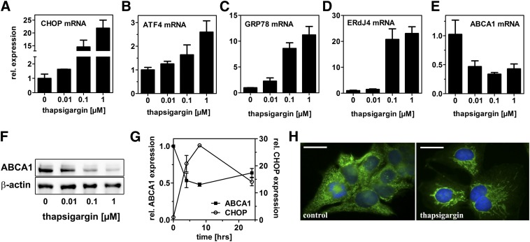 Induction of ER stress by altering calcium homeostasis impairs ABCA1 expression and redistributes ABCA1. HepG2 cells were incubated with thapsigargin in media containing 10% LPDS for 24 h. mRNA expression was determined by qRT-PCR and normalized to 18s expression. The ER stress markers CHOP, ATF4, GRP78, and ERdJ4 are induced dose dependently, whereas ABCA1 mRNA was reduced (A–E). Western blot analysis showed dose-dependent reduction of ABCA1 protein expression by thapsigargin treatment (F). ABCA1 and CHOP mRNA expression is altered inversely over time after thapsigargin (0.1 µM) treatment (G). Thapsigargin treatment (0.1 µM) alters ABCA1 localization to tubular cellular compartments as visualized by immunofluorescence microscopy (h). Green: ABCA1; blue: DAPI; bar = 5 µm. qRT-PCR: mean ± SD (n = 3). For Western blot and immunofluorescence analyses, representative images from three independent experiments are shown.
