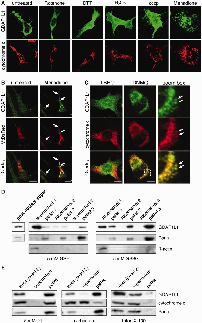 Translocation of GDAP1L1 to mitochondria. ( A ) N1E-115 cells were transiently transfected with GDAP1L1 expression constructs and treated for 2 h as indicated. Cells were fixed, stained for GDAP1L1 and cytochrome c and examined by immunofluorescence. Single plane confocal images are shown. GDAP1L1 has mainly a cytosolic localization, which is altered upon treatment with menadione ( right ). ( B ) Primary hippocampal neurons were infected with lentivirus encoding mitochondrially targeted DsRed (MtDsRed). Four days post-infection, cells were treated for 2 h with menadione or left untreated, fixed and stained for endogenously expressed GDAP1L1. Single plane confocal images are shown. ( C ) Twenty-four hours post-transfection with GDAP1L1 expression constructs and subsequent 2 h treatment with the indicated reagents, N1E-115 cells were analysed on single plane confocal pictures. 2,3-dimethoxy-1,4-naphthoquinoe (DNMQ, 20 µM) led to a redistribution of GDAP1L1 to mitochondria as visualized by the colocalization with the mitochondrial marker cytochrome c (arrows). In contrast, tert -butylhydroquinone (TBHQ, 100 µM) had no impact on the subcellular distribution of GDAP1L1. Broken line indicates area shown in higher magnification. ( D ) N1E-115 cells were transiently transfected with GDAP1L1 expression constructs and homogenized using a Dounce homogenizer on the next day. The post-nuclear supernatant of the lysate was divided in two and incubated with reduced glutathione (GSH) or oxidized glutathione (GSSG). In differential sedimentation steps, cytosolic proteins were removed as demonstrated by western blot of all purification steps against the cytosolic marker β-actin. In the oxidized glutathione (GSSG)-treated fraction of the post nuclear supernatant, more GDAP1L1 co-sediments with the mitochondrial marker Porin compared with the reduced glutathione (GSH)-treated fraction. ( E ) Pellet 2 of GDAP1L1 expressing cells treated with oxidized glutathione was resuspended in buffe