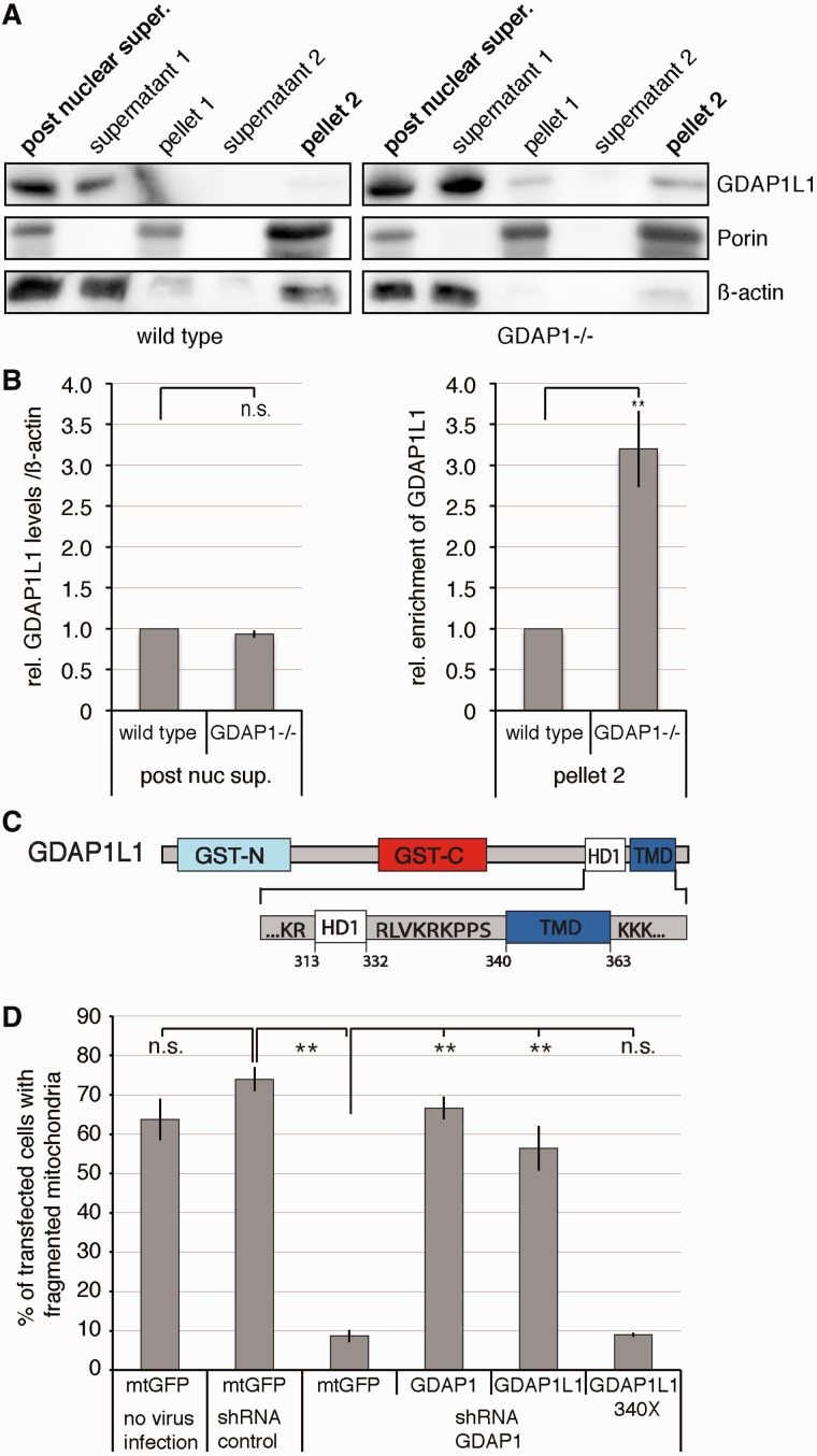 Translocation of GDAP1L1 is needed to compensate for the loss of GDAP1 expression. ( A ) Spinal cords of 19-month-old wild-type or Gdap1 −/− animals were fractionated by differential centrifugation. In homogenates from Gdap1 −/− animals, more GDAP1L1 sediments with the mitochondrial marker Porin compared with age-matched wild-type controls. β-actin served as maker for the cytosolic fraction. ( B ) The relative amounts of GDAP1L1 were quantified by densitometry in relation to β-actin in the post-nuclear supernatant and the relative enrichment from GDAP1L1 was determined for pellet 2. The values obtained from wild-type animals were set to 1 in each of four independent experiments. Means and standard error of the mean, n = 4. n.s. = not significant, ** P