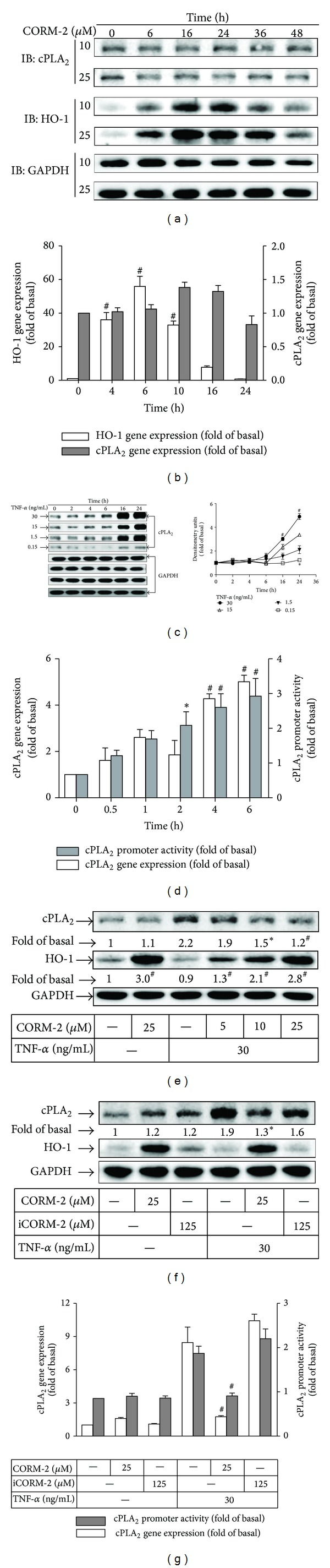 CORM-2 enhances HO-1 expression and modulates TNF- α -induced cPLA 2 expression in RASFs. RASFs were treated with (a) different concentrations or (b) 25 μ M of CORM-2 for the indicated time intervals. (c) RASFs were incubated with various concentrations of TNF- α for the indicated time intervals. (d) Cells were incubated with TNF- α (30 ng/mL) for the indicated time intervals. The mRNA levels of cPLA 2 and cPLA 2 -Luc promoter were measured. (e) Cells were pretreated with different concentrations of CORM-2 for 16 h and then incubated with TNF- α for 16 h. Cells were pretreated with (f) CORM-2 or iCORM-2 or (h) were transfected with scrambled (scrb) or HO-1 siRNA and then incubated without or with TNF- α for 16 h. ((a), (c), (e), (f), and (h)) The cell lysates were analyzed by Western blotting using an anti-cPLA 2 , anti-HO-1, or anti-GAPDH (control). ((g), open bars) RASFs were pretreated without or with CORM-2, or iCORM-2 for 16 h, and incubated with TNF- α (30 ng/mL) for 6 h. cPLA 2 mRNA was analyzed by quantitative real-time PCR. ((g), shaded bars) RASFs were transfected with a cPLA 2 -Luc reporter gene, pretreated without or with CORM-2 or iCORM-2 for 16 h, and incubated with TNF- α (30 ng/mL) for 6 h. Promoter luciferase activity was analyzed. All analyses were performed on samples from 4 RA patients. Results are representative of 3 independent experiments. Values are the mean ± SEM. ((b)–(d)) * P
