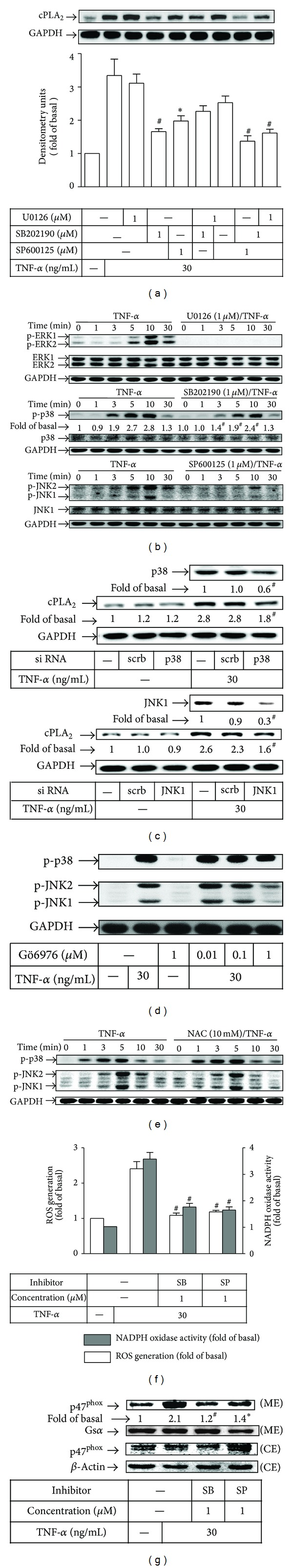 Involvement of PKC α -dependent p38 MAPK and JNK1/2 in TNF- α -mediated ROS generation and cPLA 2 expression. (a) Cells were pretreated with U0126, <t>SB202190,</t> or SP600125, or combinatorial treatment for 1 h, and then incubated with TNF- α for 16 h. The expression of cPLA 2 was determined by Western blotting. (b) Cells were pretreated with or without U0126, SB202190, or SP600125 for 1 h and then incubated with TNF- α for the indicated time intervals. (c) Cells were transfected with scrambled, p38, or JNK1 siRNA and then incubated with TNF- α for 16 h. The levels of p38, JNK1, and cPLA 2 were determined by Western blotting. (d) Cells were pretreated with Gö6976 for 1 h and then stimulated with TNF- α for 30 min. The levels of phospho-p38 MAPK and phospho-JNK1/2 were determined by Western blotting. (e) Cells were pretreated with NAC for 1 h, and then incubated with TNF- α for the indicated time intervals. The levels of phospho-p38 MAPK and phospho-JNK1/2 were determined by Western blotting. (f) Cells were pretreated with SB202190 (1 μ M) or SP600125 (1 μ M) for 1 h before exposure to TNF- α for 1 h (shaded bars) or 2 h (open bars). The NOX activity (shaded bars) and ROS generation (open bars) were analyzed. (g) Cells were pretreated with SB202190 (1 μ M) or SP600125 (1 μ M) for 1 h before exposure to TNF- α for 1 h. The membrane (ME) and cytosolic (CE) fractions were prepared and subjected to Western blotting using an anti-p47 phox antibody. All analyses were performed on samples from 4 RA patients. Results are representative of 3 independent experiments. Values in (a), (c), (f), and (g) are the mean ± SEM. * P
