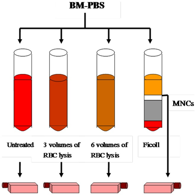 Scheme of BMSC isolation. <t>BM-PBS</t> aspirate was divided into four fractions for comparative isolation of <t>BMSCs:</t> 1) untreated whole BM aspirate, 2) 3 volumes of RBC lysis with ammonium chloride, 3) 6 volumes of RBC lysis, or 4) Ficoll density-gradient centrifugation. Finally, BM-PBS mixtures were added to the cell culture medium.