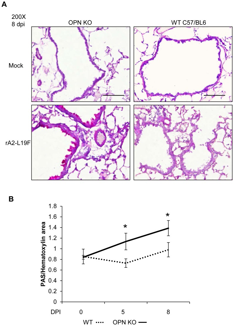 Mucus secretion in response to rA2-L19F is altered in OPN-/- mice. WT C57BL/6 and OPN-/- mice were intranasally infection with a high dose of mucogenic rA2-L19F (1×10 6 pfu/mouse, n = 4) or a mock-inoculum, and at 5 and 8 dpi tissues were harvested. (A) Lung sections (5 µm) were stained with PAS per the manufacturer's instructions and counterstained with hematoxlin and eosin, then analyzed to calculate area of staining with ImageJ using Color Deconvolution plugin using single-stained customized vector settings. (B) The areas obtained through ImageJ analysis were related as a ratio of PAS-staining to hematoxylin staining, and displayed on a graph. A minimum of 10 fields of view were obtained at 200X per mouse and the images shown are a representation of the images collected. The experiment was performed in triplicate and data is displayed as means ±SEM.