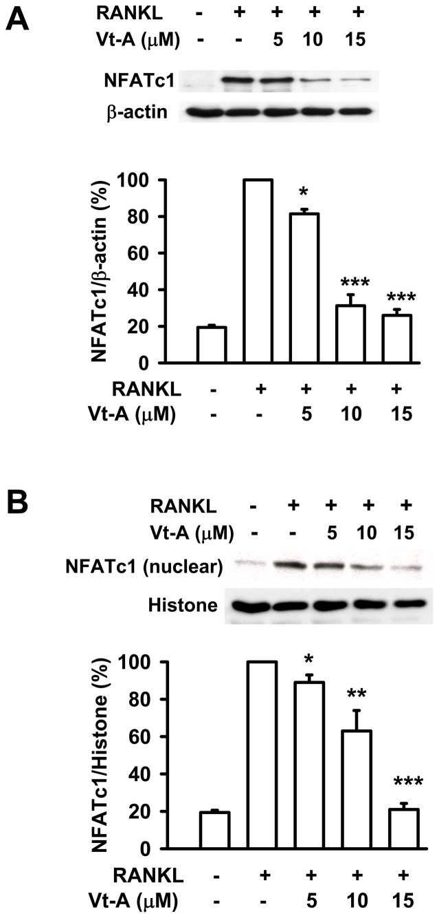 RANKL-stimulated NFATc1 induction and translocation. The (A) induction and (B) nuclear translocation of NFATc1 by RANKL stimulation were suppressed by (+)-vitisin A (Vt-A). RAW264.7 macrophages were stimulated with RANKL (100 ng/mL) for 48 h in the absence or presence of Vt-A then the total and nuclear protein were extracted as described in methods. Results are expressed as the mean ± SEM for each group from four to five separate experiments normalized for histone (for nuclear protein normalization) or β-actin (for total protein normalization) respectively. *p