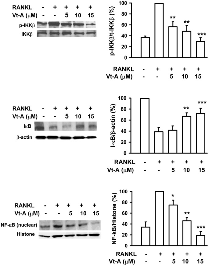 (+)-Vitisin (Vt-A) concentration-dependently repressed RANKL-induced phosphorylation of <t>IKKβ,</t> degradation of IκB and nuclear translocation of NF-κB, respectively. Protein samples were prepared after 15 min (for IKK and IκB) or 1 h (for NF-κB) of RANKL stimulation then analyzed by Western blotting. Results are expressed as the mean ± SEM for each group from four to five separate experiments. Relative protein level was normalized by histone (for NF-κB), total IKK (for phosphorylated IKK) or β-actin (for IκB), respectively. *p