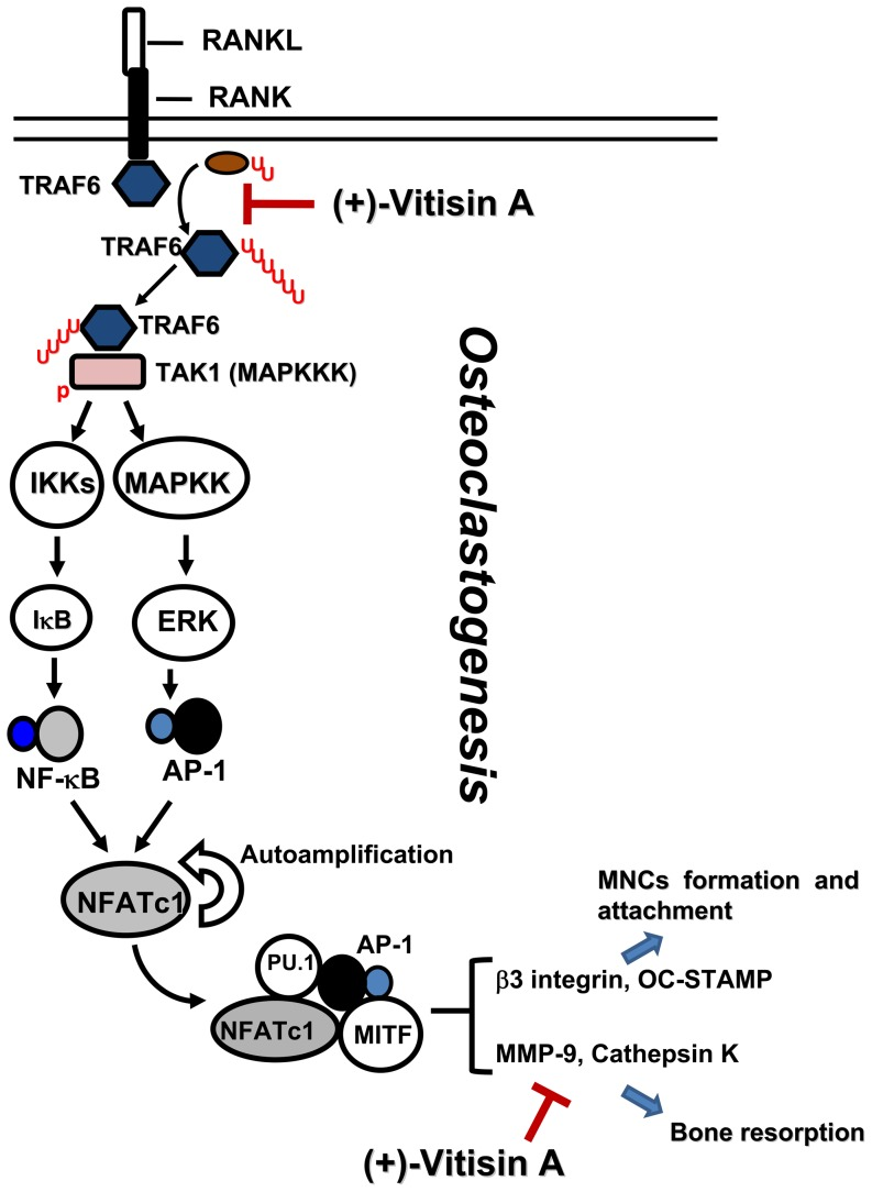 Proposed intracellular mechanisms of (+)-vitisin A in suppressing RANKL-induced osteoclastogenesis in RAW264.7 cells. The underlying mechanisms involved interfering with the ubiquitination of TRAF6 and downstream signaling cascades to suppression the expression of osteoclast marker proteins and bone resorption. Furthermore, down-regulation of matrix-degrading enzymes activity (cathepsin K and MMP-9) by (+)-vitisin A might also contribute to the beneficial effect on preventing bone loss. AP-1, activator protein 1; DC-STAMP, dendritic cell-specific transmembrane protein; MAPKs, mitogen-activated protein kinases; MITF, microphthalmia-associated transcription factor; MMP-9, matrix metalloproteinase-9; NFATc1, nuclear factor of activated T cells c1; RANKL, receptor activator of nuclear factor κB (NF-κB) ligand; TAK1, transforming growth factor β-activated kinase (TAK)-1; TRAF6, tumour necrosis factor receptor-associated factor 6.