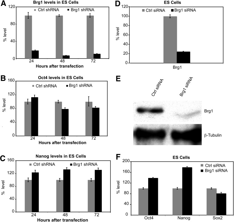 Time-course analysis was performed by using shRNA directed against Brg1 . (A) Transfection of shRNA against Brg1 showed up to 90% downregulation of Brg1 in ESD3 cells compared with embryonic stem (ES) cells transfected with control shRNA. (B) Transfection of sh Brg1 led to an increase in Oct4 levels at 24 h posttransfection but a decrease in Oct4 levels at 48 and 72 h posttransfection with sh Brg1 , compared with cells transfected with control shRNA. (C) Nanog levels remained elevated for up to 72 h after knockdown of BRG1. (D) siRNA-mediated BRG1 showed 85% knockdown efficiency. (E) Western blot analysis was carried out at 48 h posttransfection using cell lysates prepared from mouse ES cells. BRG1 protein levels were detected by using polyclonal anti-BRG1 (N15) antibody; β-TUBULIN was used as a loading control. (F) Levels of Oct4 and Nanog were increased and Sox2 levels were decreased in ES cells at 48 h posttransfection.