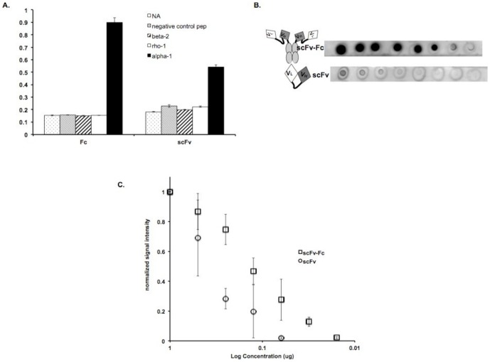 Comparison of detection limits of scFv and scFv-Fc. A. Binding specificity of equimolar concentrations of scFv-Fc and scFv A10, to different biotinylated peptides was detected in an ELISA using anti-Flag antibody conjugated to HRP. Signal intensities were measured at 405 nm and error bars indicate standard deviation of duplicate trials. NA, NeutrAvidin™; negative control pep, retinal protein Pep 1 peptide; beta 2, GABA A receptor subunit β2 peptide; rho 1, GABA c receptor subunit ρ pep tide and alpha 1, GABA A receptor subunit α1 peptide. B. Dot blots of varying concentrations of MBP-α1 proteins treated with 10 nM A10 scFv-Fc (top row) and scFv (bottom row). Circles around signal spots indicate pencil markings of protein addition sites. C. Signal intensities normalized to highest signal obtained for each trail are plotted against log of concentration for scFv-Fc and scFv. Error bars depict standard deviations. n = 3.