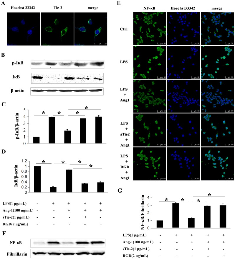 Ang-1 inhibited LPS-induced IκB phosphorylation and NF-κB nuclear translocation in P815 mast cells. A: Immunofluorescence showed Tie-2 receptor expression. Primary antibody in negative control was monoclonal IgG. B: Western blotting was performed to analyze phosphorylation levels of IκB in mast cells in response to different stimuli. C and D: Densitometric analysis was used to calculate the relative ratio of p-IκB/β-actin (C) and IκB/β-actin (D). Ratio of the control group was arbitrarily presented as 1. *P