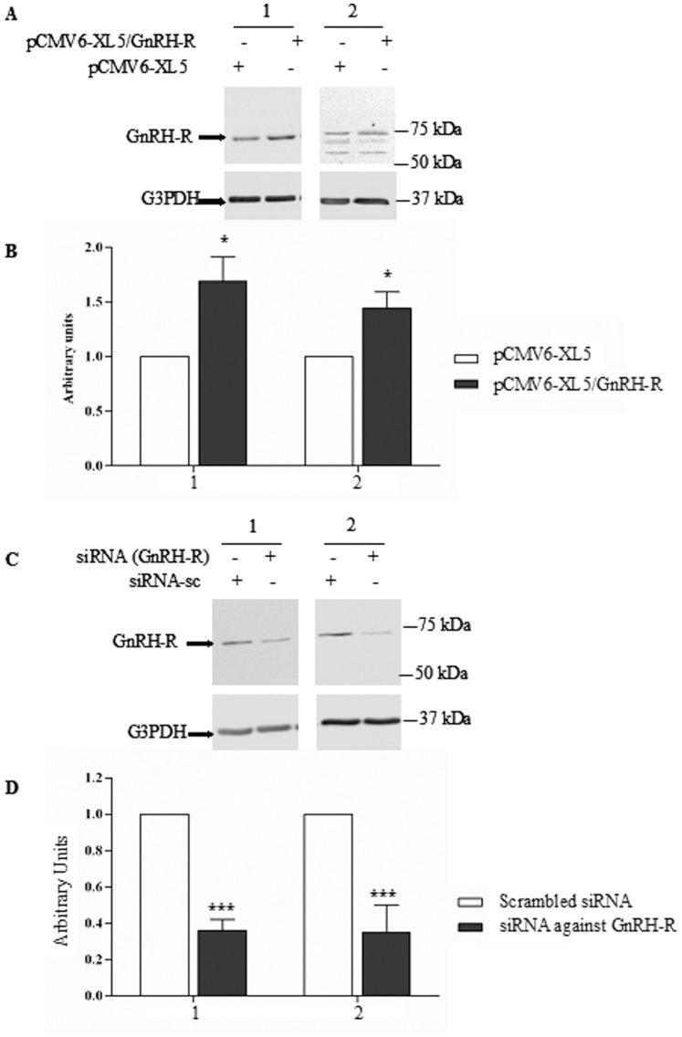 Validation of the detection of <t>GnRH-R</t> in immunoblots. A. Representative immunoblots of GnRH-R detection (upper panel) after 48 h transfection with the Human cDNA clone pCMV6-XL5/GNRH-R in 16HBE14o − (1) and CFBE41o − (2) cells. pCMV6-XL5 empty plasmid was used as a control. B. The densitometric analysis after normalization by G3PDH expression and comparison with the controls, indicate that the GnRH-R expression in significantly increased, (n = 5). C. Representative immunoblots of GnRH-R detection after 72 h transfection with a siGENOME individual duplex targeting GnRH-R in 16HBE14o − (1) and CFBE41o − (2) cells. siGENOME Non-Targeting was used as control. A decreased expression of GnRH-R is observed in both cell types. D. The densitometric analysis after normalization by G3PDH expression and comparison with the controls, indicate that the GnRH-R expression is significantly decreased in 16HBE14o − (1) and CFBE41o − (2) cells (n = 7) in the presence of <t>siRNA.</t>