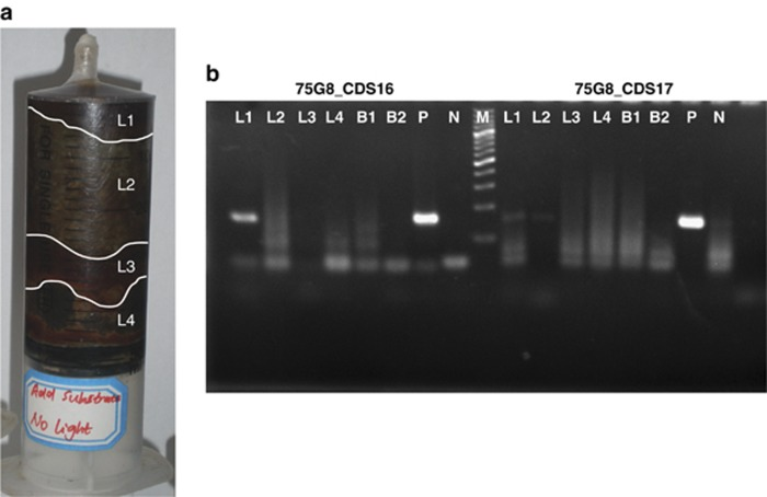 ( a ) A photo of the syringe filled with sediment and protocatechuate after 45 days' culturing. The labels from top to bottom (L1, L2, L3 and L4) correspond to the colors of the sediment layers. ( b ) Reverse transcription PCR (RT-PCR) analysis of 75G8_CDS16 and 75G8_CDS 17 from the RNA extracted from different layers of a culturing syringe (L1–L4), original sediment (B1) and a control sample (B2). L1–L4 indicate the different layers of the syringe sediment. B1 represents the original sediment sample without any treatment and B2 represents the control sample that was cultured under the same conditions but without protocatechuate. P indicates the positive control that used 75G8 fosmid DNA as the PCR template, and N indicates the negative control that used water as template.
