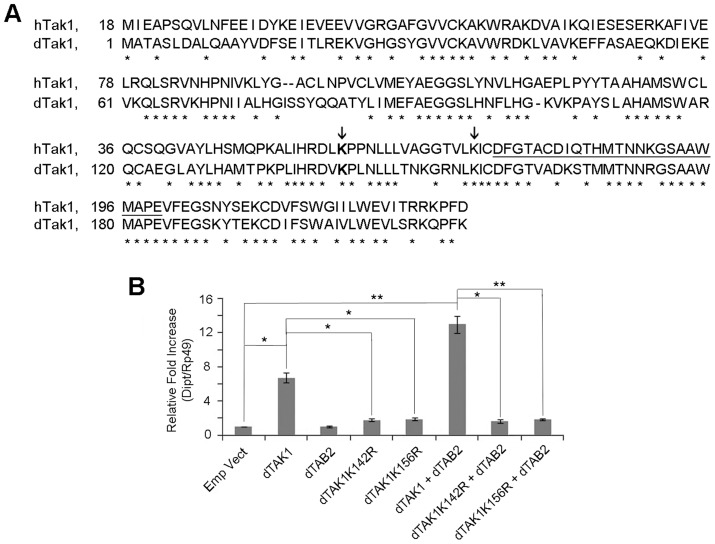 Lys 142 and Lys 156 of dTAK1 are essential for immune signalling. (A) Sequence alignment of 1 to 230 amino acids of human TAK1 (hTAK1) and  Drosophila  TAK1 (dTAK1). Lys 142 (dark grey) and 156 (light grey) are indicated (arrows) and the kinase activation loop is underlined. (B)  Drosophila  TAK1 K142R  and TAK1 K156R  mutants failed to activate  diptericin .  Drosophila  TAK1 or dTAK1 K142R  or dTAK1 K156R  mutant was expressed along with or without dTAB2, in S2 cells in combinations shown.  Diptericin  expression was assayed 48 hrs post-transfection. Error bars represent Standard Error of 3 separate experiments. *p