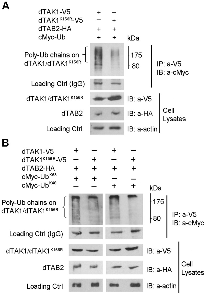 Decreased ubiquitination in the dTAK1 K156R  mutant. (A) Mutant dTAK1 K156R  showed decreased polyubiquitination when compared with dTAK1. Expression vectors encoding dTAK1-V5 or dTAK1 K156R  -V5 were transfected along with dTAB2-HA and cMyc-Ub in combinations shown in S2 cells. Cells were lysed 48 hrs post-transfection, immunoprecipitated with anti-V5 antibody, resolved on 10% SDS PAGE, and immunoblotted with anti-cMyc antibody. (B) K48-linked polyubiquitination was decreased in the dTAK1 K156R  mutant while K63-linked polyubiquitination was somewhat reduced. Expression vectors encoding dTAK1-V5 or dTAK1 K156R -V5 were transfected along with dTAB2-HA and cMyc-Ub, cMyc-UbK63 (left panel) or cMyc-UbK48 (right panel) in combinations shown in S2 cells. Cells were lysed 48 hrs post-transfection, immunoprecipitated with anti-V5 antibody, resolved on 10% SDS PAGE, and immunoblotted with anti-cMyc antibody. Protein size marker is depicted adjacent to the top panels with values in kDa.