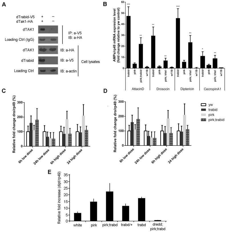 Drosophila  Trabid binds to dTAK1 and negatively regulates IMD signalling. (A)  Drosophila  Trabid interacted with dTAK1.  Drosophila  TAK1-HA was co-transfected with or without dTrabid-V5 in S2 cells, immunoprecipitated with anti-V5 antibody, resolved on 10% SDS PAGE and immunoblotted with anti-HA antibody. (B) AMP gene expression was highly elevated in  trabid  mutants in the absence of infection. Expression levels of various AMPs ( attacinA; drosocin; diptericin; cecropinA1 ) were checked in whole flies (3–6 days old) using qPCR compared with  yw  as control for the genetic background (wild type) of  pirk  and  trbd   [30] ,   [31] . We also used the  w 118  strain as an additional control (to check the range between two independent controls). Error bars represent the Standard Error of 3 separate experiments. *p