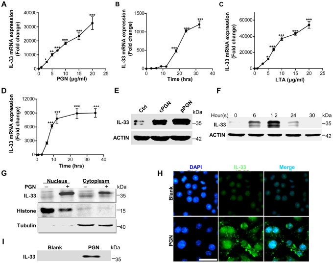 IL-33 expression induced by S.aureus -derived PGN and LTA in macrophages. ( A B ) Quantification of IL-33 expression in macrophages RAW264.7 treated with different doses of PGN ( A ) or treated with 10 µg/ml PGN for different times ( B ). ( C D ) Quantification of IL-33 expression in macrophages RAW264.7 treated with different doses of LTA ( C ) or treated with 10 µg/ml LTA for different times ( D ). ( E ) Western blot of IL-33 induced by commercial PGN (cPGN) and PGN purified from S.aureus CMCC(B)26003 (pPGN) in total cell lysate of primary peritoneal macrophages. ( F ) Western blot of IL-33 induced by PGN in total cell lysate of primary peritoneal macrophages at different time points. ( G ) Western blot of IL-33 from the cytoplasm or nucleus of macrophages RAW264.7 treated with 10 µg/ml PGN. Histone was used as an endogenous control for nuclear proteins and tubulin was used as an endogenous control for cytoplasmic proteins. ( H ) Immunofluorescent staining of IL-33 in macrophages RAW264.7 treated with PGN for 24 hours. Scale bar represents 50 µm. ( I ) IL-33 in cell culture media. Cell culture media of macrophages RAW264.7 treated with 10 µg/ml PGN was incubated with protein G beads coupled with IL-33 antibody for overnight. Next day, IL-33 captured by IL-33 antibody was eluted from beads for western blot. * P