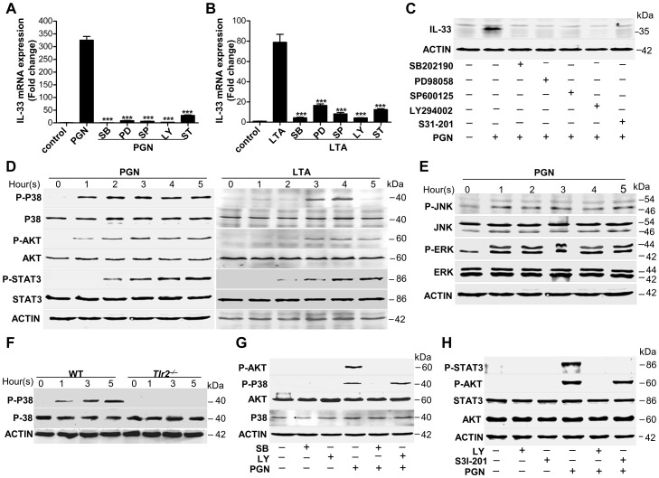 Staphylococcus aureus activates MAPKs-AKT-STAT3 signaling to induce <t>IL-33.</t> ( A B ) Quantification of IL-33 mRNA of macrophages RAW264.7 treated with 10 µg/ml PGN ( A ) or LTA ( B ) in the presence or absence of different inhibitors. SB: p38 MAPK inhibitor SB202190 (5 µM); PD: MEK1 inhibitor PD98059 (20 µM); SP: JNK inhibitor SP600125 (15 µM); Ly: AKT inhibitor Ly294002 (50 µM); ST: STAT3 inhibitor S31-201 (50 µM). ( C ) Western blot of IL-33 in macrophages RAW264.7 stimulated by PGN in the presence or absence of inhibitors. * Unspecific bands. ( D ) Phosphorylation of p38 MAPK (Thr180/Tyr182), AKT (Ser473) and STAT3 (Tyr705) after RAW264.7 cells treated with 10 µg/ml PGN or LTA for 1–5 h. ( E ) Phosphorylation of JNK (Thr183/Tyr185) and ERK (Thr202/Tyr204) after RAW264.7 cells treated with 10 µg/ml PGN for 1–5 h. ( F ) Phosphorylation of p38 MAPK (Thr180/Tyr182) after wild-type and Tlr2 −/− primary peritoneal macrophages treated with 10 µg/ml PGN for 1–5 h. ( G ) Phosphorylation of p38 MAPK (Thr180/Tyr182) and AKT (Ser473) after macrophages RAW264.7 treated with 10 µg/ml PGN in the presence of p38MAPK inhibitor SB202190 or AKT inhibitor Ly294002. ( H ) Phosphorylation of AKT (Ser473) and STAT3 (Tyr705) after macrophages RAW264.7 treated with 10 µg/ml PGN in the presence of AKT inhibitor Ly294002 or STAT3 inhibitor S31-201. ***P