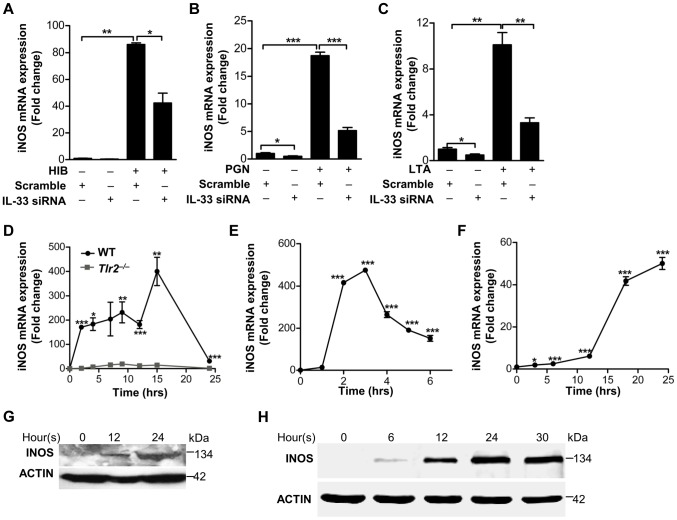 IL-33 induces iNOS in macrophages. ( A – C ) iNOS expression induced by heat-inactivated S.aureus ( A ) or PGN ( B ) or LTA( C ) before or after IL-33 was silenced in primary peritoneal macrophages. ( D ) Quantification of iNOS mRNA expression of WT and Tlr2 −/− primary peritoneal macrophages treated with 10 µg/ml PGN. ( E F ) iNOS mRNA expression in BMDMs treated with 30 ng/ml full-length IL-33( E ) or in primary peritoneal macrophages treated with 30 ng/ml processed IL-33(Ser109-Ile266) ( F ) for various times. ( G H ) Western blot of iNOS in BMDMs treated with 30 ng/ml full-length IL-33( G ) or in primary peritoneal macrophages treated with 30 ng/ml processed IL-33(Ser109-Ile266) ( H ) for various times. *P