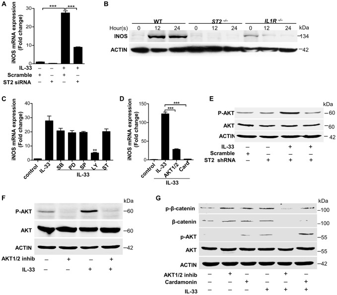 IL-33 activates ST2-AKT-β-catenin to induce iNOS. ( A ) iNOS mRNA expression induced by 30 ng/ml processed IL-33(Ser109-Ile266) before or after ST2 was silenced in primary peritoneal macrophages. ( B ) Western blot of iNOS in WT, ST2 −/− and IL1R −/− primary peritoneal macrophages treated with 30 ng/ml processed IL-33(Ser109-Ile266) for different times. ( C ) iNOS mRNA expression induced by 30 ng/ml processed IL-33(Ser109-Ile266) in the presence or absence of different inhibitors. SB: p38 MAPK inhibitor SB202190 (5 µM); PD: MEK1 inhibitor PD98059 (20 µM); SP: JNK inhibitor SP600125 (15 µM); Ly: AKT inhibitor Ly294002 (50 µM); ST: STAT3 inhibitor S3I-201 (50 µM). ( D ) iNOS mRNA expression induced by 30 ng/ml processed IL-33(Ser109-Ile266) in the presence or absence of AKT1/2 specific inhibitor (8 µM) or β-catenin inhibitor cardamonin (9 µM). ( E ) Phosphorylation of AKT (Ser473) induced by 30 ng/ml processed IL-33(Ser109-Ile266) before and after ST2 was silenced in primary peritoneal macrophages. ( F ) Phosphorylation of AKT (Ser473) induced by 30 ng/ml processed IL-33(Ser109-Ile266) in the presence or absence of AKT1/2 specific inhibitor (8 µM) in primary peritoneal macrophages. ( G ) Phosphorylation of AKT (Ser473) and β-catenin (Ser675) induced by 30 ng/ml processed IL-33(Ser109-Ile266) in the presence or absence of AKT1/2 specific inhibitor (8 µM) or β-catenin inhibitor cardamonin (9 µM) in BMDMs. The phosphorylation of β-catenin at Ser675 resulted in the accumulation of total β-catenin in cells. **P