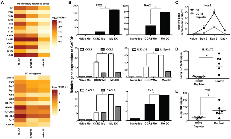 Inflammatory responses of CCR2 + Mo and Mo-DC during respiratory fungal infection. Lung CCR2 + Mo (GFP + CD45 + CD11b + CD11c − Nk1.1 − ) and Mo-DC (GFP + CD45 + CD11b + CD11c + NK1.1 − ) were FACS sorted 48 h p.i. from CCR2 reporter mice (purity > 97% for all sorts) for transcriptome analysis by RNA-seq (A) or for quantitative RT-PCR (B). Control CCR2 + Mo were also isolated from the lung of uninfected CCR2 reporter mice (naïve sample) to > 97% purity. (A) Gene expression data shown in A is for one experiment and representative of 3 independent biological replicates and three idependent sequencing reactions using SOLiD sequencing platform. Differences in gene expression are shown as fragments per kilobase (FPKM) as calculated using Cufflinks and R software. (B) The graphs show expression of specific transcripts in the indicated cell populations by qRT-PCR using Taq-Man probes normalized to GAPDH. Data shown is mean ±SEM pooled from two separte experiments. (C) The graph shows pulmonary Nos2 induction in DT-treated CCR2 depleter and control mice at the indicated time points p.i. Data shown is mean ±SEM pooled from two separte experiments with 3 mice per group per time point. (D–E) The scatterplots show mean ± SEM lung (D) IL-12p70 and (E) TNF levels at 48 h p.i. in CCR2 depleter (grey circles) and control B6 mice (black circles) as in Figure 3A .