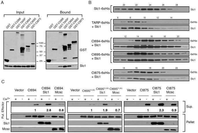 Slc1 associates as stable, multi-protein complexes with TARP, Ct694, Ct695 and Ct875/TepP, and enhances their secretion via the T3S system. A–B) Slc1 binds its putative target effectors in vitro . Slc1 was co-expressed in E. coli with GST-tagged TARP, Ct694, Ct695 and Ct875/TepP fusion proteins. The GST-tagged proteins were isolated from cell lysates with glutathione sepharose beads, and the relative levels of Slc1 co-isolated was assessed by immunoblot analysis (A). GST and GST-288 served as negative controls. To assess the relative size of these complexes, TARP, Ct694, Ct695 and Ct875/TepP were fused to a hexahistidine tag and co-expressed with Slc1. Bound proteins were purified using a Nickel resin, eluted with 500 mM Imidazole, and analyzed by gel filtration chromatography (B). Fraction numbers are provided on the top. Molecular size markers: Alcohol Dehydrogenase (150 kDa), Conalbumin (75 kDa) and Carbonic Anhydrase (29 kDa), peaked at F16-17, F20-21 and F26, respectively. No peak was observed between fractions 8–20 in Slc1-6xHis sample in the absence of co-expressed effectors. C ) Slc1 enhances the T3S-dependent secretion of Ct694, Ct695 and Ct875/TepP. Y. pestis KIM8-E (Δ ail ) was co-transformed with plasmids expressing Ct694, Ct875/TepP and FLAG-tagged Ct695 and untagged Slc1 or Mcsc in the combinations shown. T3S was induced by calcium chelation and the relative amount of protein secreted into the supernatants was assessed by quantitative immunoblots. Sup-cell free supernatant. Mcsc did not enhance the secretion of effectors, indicating that the secretion chaperone activity of Slc1 is specific for its target substrates.