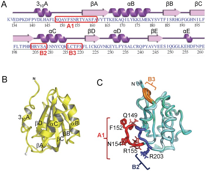 The structure of the JCV OBD. A . The amino acid sequence of the JCV T-ag origin binding domain (OBD). The associated secondary structures are presented above the primary sequence. The positions of the A1, B2 and B3 motifs are indicated. B . A ribbon diagram of the JCV OBD crystal structure. The individual beta strands and alpha helices are indicated, as are the N and C termini. The individual secondary elements were named as previously described for the SV40 OBD [48] . C . Superposition of all four structures of the JCV OBD (forms 1, 2 and 3), indicating where the DNA binding A1 and B2 loops are located along with the B3 motifs (in brown, blue and orange, respectively). Structurally, the most variable region in the OBD is the B3 motif.