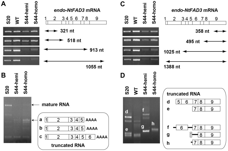 Detection of the 3′- and 5′-truncated endo-NtFAD3 transcripts. ( A ) RT-PCR analysis of the endo-NtFAD3 transcripts harboring the proximal region. S44-hemi and S44-homo denote the S44 plants hemizygous and homozygous for T-DNA, respectively. The amplified regions are illustrated. The endo-NtFAD3 mRNA is shown with open boxes. Each box with a number shows the corresponding exon. ( B ) 3′ RACE analysis. The total RNAs from the S20, S44-hemi, and S44-homo leaves were subjected to 3′ RACE. The RACE products from mature and truncated endo-NtFAD3 transcripts are indicated. The 3′ RACE products from truncated endo-NtFAD3 transcripts were cloned as follows: ten independent clones were sequenced and classified into 3 groups (a, b, and c) based on the positions of their polyadenylation sites. ( C ) RT-PCR analysis of the endo-NtFAD3 transcripts harboring the distal region. The amplified region is also illustrated, as in the case of Fig. 1A. ( D ) 5′ RACE analysis. The leaf total RNA was subjected to 5′ RACE. Five cDNA fragments (designated d to h) specific to the samples from the NtFAD3 transformants were cloned, and the structures of the 5′-truncated endo-NtFAD3 transcripts are shown. The open boxes and bars indicate exons and introns, respectively.