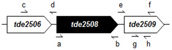 Gene map of tde2508 and its neighbors on the chromosomal DNA of T . denticola ATCC 35405. The small arrows show primers which are presented in Table 1 . The tde2508 and tde2509 genes were co-transcribed (data not shown).