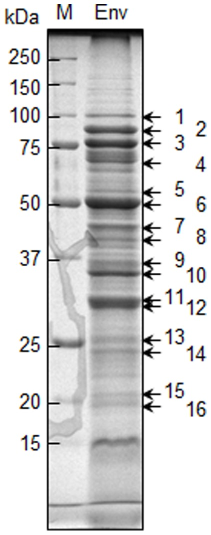 Major membrane proteins on an SDS-PAGE gel. Ten micrograms of the envelope fraction (Env) of T . denticola ATCC 35405 was separated by SDS-PAGE and stained with CBB. The numbers (1–16) indicate proteins identified by mass spectrometry. Annotation of each protein is shown in Table 2 . M denotes a standard marker.