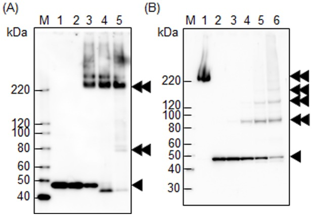 TDE2508 complex formation. (A) The whole cell lysate of T . denticola ATCC 35405 was subjected to Western blot analysis with anti-TDE2508 antiserum. Samples in lanes 1–5 were denatured by heating at 100, 80, 60, 37, and 24°C, respectively for 10 min. (B) T. denticola intact cells in lanes 1–6 were treated with 0, 0, 10, 50, 100, and 200 mM of a chemical cross-linker, respectively. The treated cells were sonicated and denatured by heating at 60°C for lane 1 or 100°C for lanes 2–6 for 10 min, and subjected to Western blot analysis with anti-TDE2508 antiserum. The single and double black arrowheads denote a monomer and a complex form of TDE2508, respectively. M denotes a standard marker.