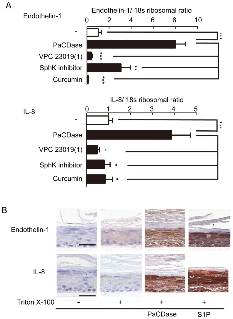 PaCDase-produced S1P induces endothelin-1 and IL-8 production by keratinocytes. ( A ) Involvement of SphK and S1P receptor in PaCDase-enhanced endothelin-1 and IL-8 gene expression. Nitrocellulose filters without (-) or with 1 mU/ml PaCDase in the absence or presence of 1 µM VPC 23019, 10 µM SphK inhibitor, or 40 µM curcumin in Tris-buffered saline containing 0.1% Triton X-100 were placed on the stratum corneum, and endothelin-1 and IL-8 mRNAs were assayed by quantitative real-time RT-PCR. Each bar represents the mean±SD of 3 independent experiments. **P