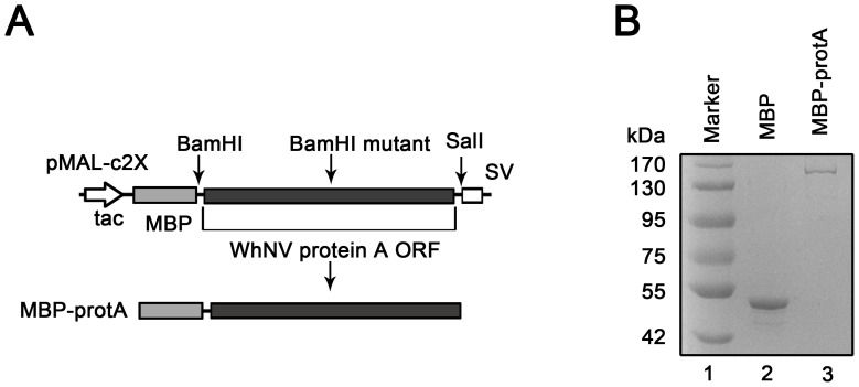Expression of recombinant WhNV protein A. (A) Schematic representation of the expression strategy of WhNV protein A. Protein A ORF was cloned into pMAL-c2X and expressed as C-terminal fusion proteins with MBP (MBP-protA). To manipulate the vector, we mutated a BamH I restriction endonuclease site on protein A ORF sequences. (B) SDS-PAGE analysis of purified recombinant protein A from E. coli . Lane 1, Marker; lane 2, MBP protein alone; lane 3, MBP-protA.