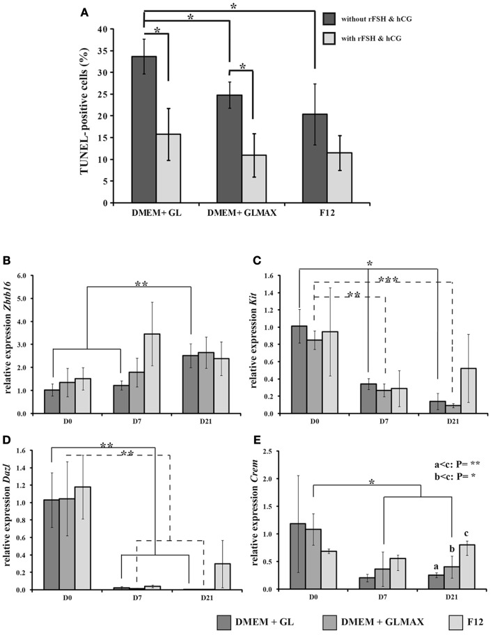 The influence of different culture media on cell survival and expression of genes related to germ cell differentiation in a three-dimensional cultures of rat testicular cells . (A) The cells were cultured for 7 days in DMEM + glutamine (GL), DMEM + Glutamax (GLMAX), or F12 (presented on the X -axis) either with (light columns) or without (dark columns) hCG and rFSH stimulation. The percentage of apoptotic (TUNEL-positive) cells, normalized to the 1-day value, is shown on the Y -axis. (B–E) The cells were cultured for 0, 7, and 21 days. The graphs depict the relative expression of rat Zbtb16 (also known as Plzf ) (B) , Kit (C) , Dazl (D) , and Crem (E) (determined by qPCR analysis with Actb as an internal control) by cells cultured in DMEM + glutamine (DMEM + GL), DMEM + Glutamax (DMEM + GLMAX), or F12. On the X -axis, the different periods of culture [0 (D0), 7 (D7), and 21 (D21) days] are depicted and the Y -axis shows the mean relative expression of replicates calculated by the ddCt procedure. Student's t -test was applied to compare the different experimental conditions. * p