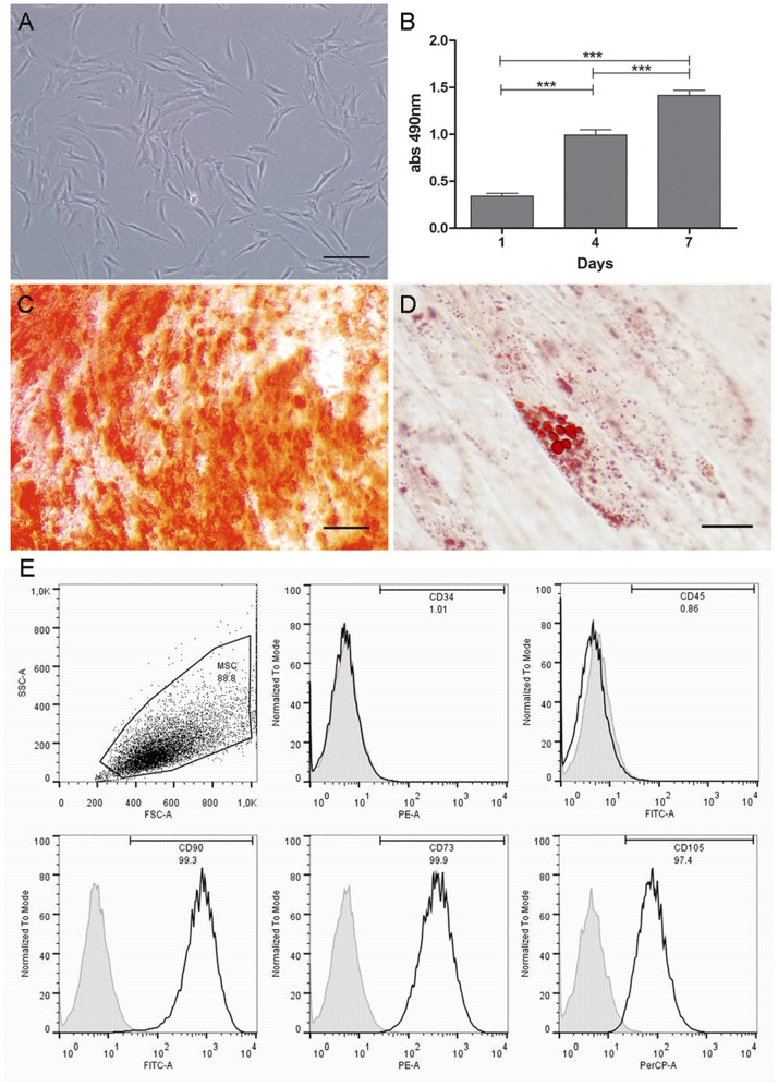 MSC phenotypic characterization of human skin-derived cells. (A) Morphological analysis of skin-derived cells by phase contrast microscopy. (B) MTS cell proliferation/viability assay. (C) Osteogenic and (D) adipogenic differentiation. (C) Cells cultured in inductive medium formed Alizarin Red S-stained mineralized nodules and (D) Oil red O-stained lipid clusters. (E) Flow cytometry analysis of hematopoietic (CD34, CD45) and MSC (CD90, CD73, CD105) markers. Specific markers are shown by black curves and controls by gray curves. ***p