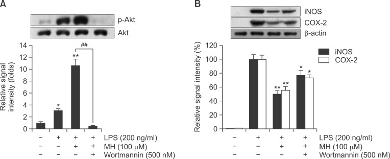 PI3K/Akt was required for MH-mediated suppression of LPS-induced iNOS and COX-2 expressions in RAW264.7 macrophage cells. RAW264.7 cells were pretreated with MH (100 μM) for 1 hr in the presence or absence of wortmannin, then exposed to LPS (200 ng/ml) for 1 hr. The cell lysates were prepared and subjected to Western blotting analysis by using antibodies specific for total and phosphorylated forms of Akt, which showed that wortmannin completely abolished MH-mediated Akt activation (A). The relative protein levels of iNOS and COX-2 were also examined. MH-mediated suppression of LPS-induced iNOS and COX-2 expressions were significantly attenuated with wortmannin but not completely (B). The images shown are representatives of three independent experiments that showed consistent results and the relative protein values are expressed as mean ± S.D. for three experiments. * p