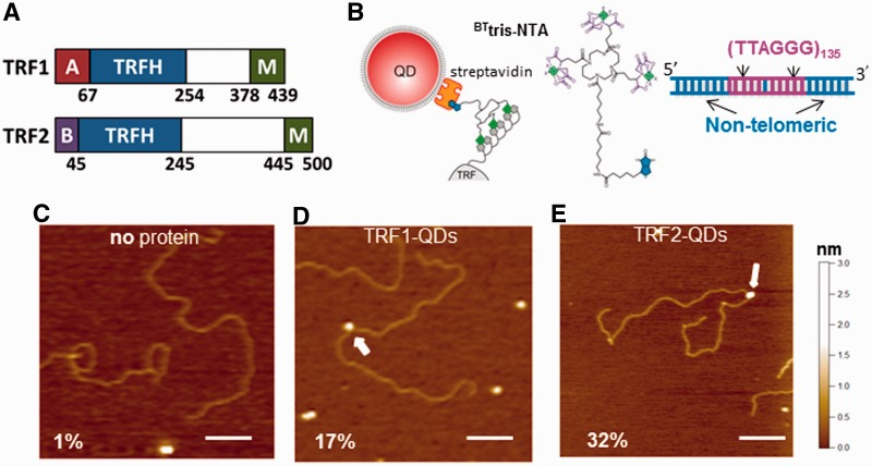 TRF1- and TRF2-QDs retain DNA-binding activity. ( A ) Schematic representations of the domain structures of TRF1 and TRF2. A: Acidic domain, B: Basic domain. M: Myb type domain. ( B ) Schematic representations of TRF1- and TRF2-QD conjugates (left), BT tris-NTA compound (middle) and the DNA substrate (T270) with two tandem (TTAGGG) 135 repeats connected by a short linker region (right, 5.4 kb in length). (C–E) Representative AFM images of DNA in the presence of ( C) only QDs and BT tris-NTA compound, ( D ) TRF1-QDs or ( E ) TRF2-QDs. The scale bar is 200 nm. White arrows point to QDs bound to DNA. The numbers in (C–E) indicate the percent of DNA molecules bound with QDs in each condition. The total numbers of complexes analyzed were 200, 250 and 250, for no protein, TRF1-QDs and TRF2-QDs, respectively.