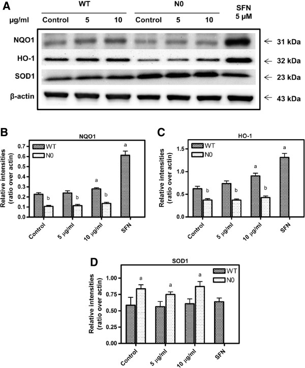 Western blot of NQO1, HO-1 and SOD1 proteins in WT and N0 cells treated with PB (5 and 10 μg/ml). The blots shown are examples of three separate experiments (A) from 20 μg cytosolic proteins and relative intensities over β-actin for NQO1 (B) , HO-1 (C) and SOD1 (D) protein expression after 24 h treatment of PB. SFN treatment at 5 μM was used as positive control. Data represent ± S.E.M from three independent experiments. a P