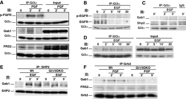 G i α proteins associate with RTKs and their adaptor proteins in breast cancer cells , and are important for interactions of Gab1 with Shp2 or Grb2 in MEFs in response to EGF or bFGF. (A) MB231 cells were treated with bFGF (25 ng/ml) for 0, 2 or 5 min. Whole cell lysates were prepared. The associations of G i3 α with p-FGFR, Gab1 and FRS2 were determined by IB using anti-p-FGFR(Y766), anti-Gab1, anti-FRS2 and anti-G i3 α antibodies, respectively. (B-D) MB231 cells were treated with EGF (100 ng/ml) for 0, 2, 5, 10 or 20 min. The associations of G i3 α with p-EGFR, EGFR (B) , Gab1 and Shp2 (C D) were determined by IB using anti-p-EGFR (Y1173), anti-EGFR, anti-Gab1, anti-Shp2 and anti-G i3 α antibodies, respectively. (E F) WT and Gi1/3 DKO MEFs were treated with EGF or bFGF for 0, 2 or 5 min. The association of Shp2 with Gab1 in response to EGF (E) , and the associations of Grb2 with Gab1 and FRS2 in response to bFGF (F) were determined by IB. Experiments were repeated two to four times. Similar results were obtained.