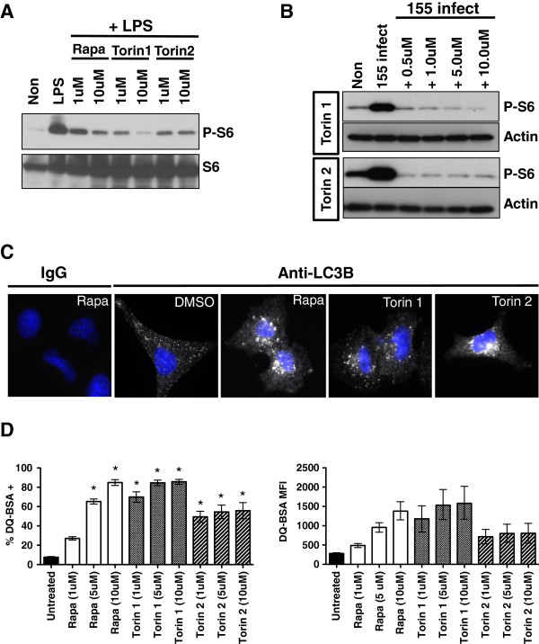 Low doses of Rapamycin, Torin 1, and Torin 2 inhibit mTOR and induce autophagy. (A) RAW264.7 cells were pretreated with 1 uM or 10 uM of the mTOR inhibitors indicated and then challenged with 1 ug/ml E. coli derived LPS for 3 hours. Protein lysates were prepared and western blots for total ribosomal S6 and phosphorylated ribosomal S6 are shown. Shown are data representative of two independent assays (B) RAW264.7 cells were infected with M. smegmatis (MOI 5) and treated with the mTOR inhibitors shown. Protein lysates were prepared and western blots for Actin and phosphorylated ribosomal S6 were performed. Shown are data representative of two independent assays (C) A549 cells were treated with 10 uM of the indicated inhibitor for 3 hours and then stained for endogenous LC3B, or an isotype control IgG, and imaged by fluorescence microscopy. Shown are data representative of two independent assays. (D) RAW264.7 cells were loaded with DQ-BSA, either left untreated (−DMSO) or treated overnight with the indicated concentrations of the mTOR inhibitors shown, and analyzed by flow cytometry. Shown is the combined percentage of DQ-BSA positive cells (+/− SEM) and the mean fluorescent intensity (and intensity range) derived from two independent assays with 3 replicates per assay. For analysis of the percent DQ-BSA positive cells, asterisks indicated p