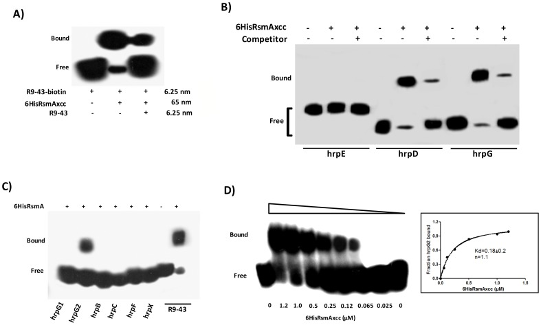 RNA mobility shift assays with purified 6HisRsmA of X. citri subsp. citri A ) 6HisRsmAxcc (65 nM) binds to the high affinity RNA target R9-43. Biotin 3′-end-labeled R9-43 (6.25 nM) was incubated with 6HisRsmAxcc (65 nM) for 30 minutes at room temperature, followed by analysis on a 5% native polyacrylamide gel. A competitive assay in which unlabeled R9-43 RNA (6.25 nM) was added to the reaction reduced the signal resulting from the biotinylated nucleotide. B ) 6HisRsmAxcc directly interacts with the 5′ UTRs of hrpG and hrpD . The leader sequences of hrpD , hrpE and hrpG cloned were transcribed in vitro and biotinylated with RNA Labeling kit (Roche). Biotinylated RNA probes were incubated with 6HisRsmAxcc and resolved in a 5% native polyacrylamide gel. The addition of unlabeled competitor R9-43 to the reactions reduced the intensity of the shifted band, which confirmed the specificity of the RsmAxcc- hrpG and RsmAxcc- hrpD interactions. C ) 3′-end-biotin-labeled RNA probes encoding the leader sequences of hrpB , hrpC , hrpF and hrpX were tested for interactions with 6HisRsmAxcc ( Table S4 ). In addition, 3′-end-biotin–labeled RNA probes hrpG1 and hrpG2 , which bear the GGA motifs encoded by the 5′ leader sequence of hrpG , were used to map the interaction RsmAxcc- hrpG . Only the GGA motif between nucleotides 80 and 120 in the hrpG leader sequence ( hrpG 2 probe) interacted with 6HisRsmAxcc. D ) To determinate the apparent equilibrium binding constant (K d ), 3′ end-labeled hrpG 2 RNA (6.25 nM) was incubated with increasing concentrations of 6HisRsmAxcc as noted at the bottom of each lane. The binding curve for the 6HisRsmAxcc- hrpG 2 interaction was determined as a function of 6HisRsmAxcc concentration and shifted band intensity. The average pixel value of each shifted band was calculated with ImageJ software [68] , [69] , [112] . The apparent equilibrium binding constant (K d ) for this reaction was 0.18±0.2 µM 6HisRsmAxcc. Samples were loaded and resolved onto a 5%