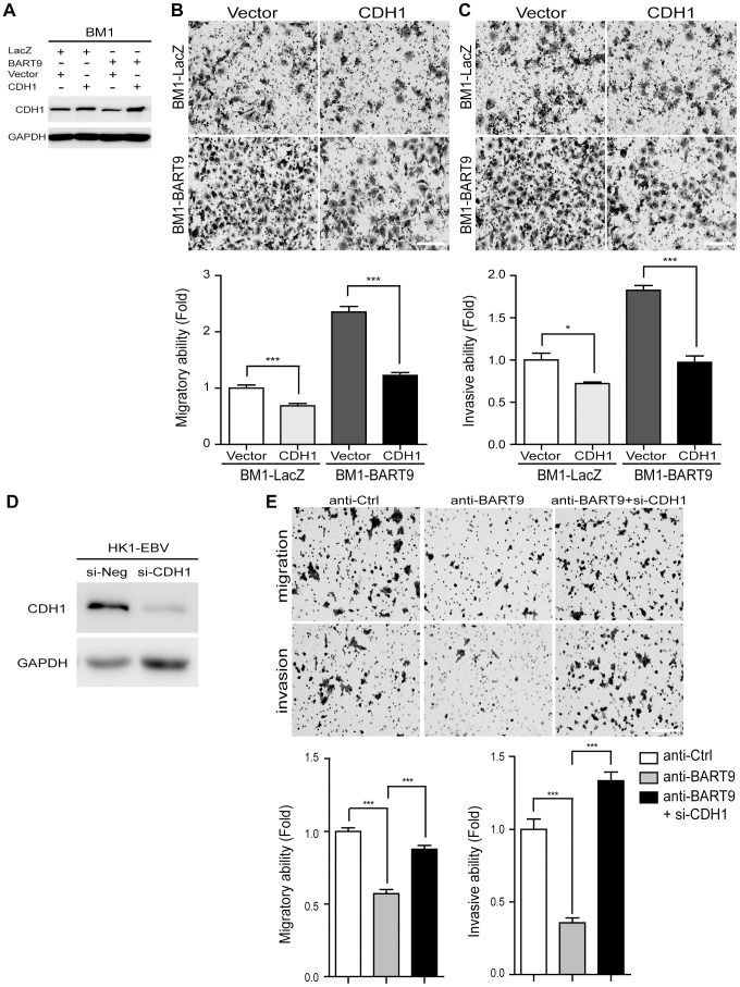 E-cadherin plays a pivotal role in miR-BART9-mediated migration and invasion in NPC cells. (A) Protein level of E-cadherin was increased after introducing pcDNA6/His-CDH1, which contains CDH1 open reading frame without 3′-UTR. Transwell migration assay (B) and Matrigel invasion assay (C) for miR-BART9- or LacZ-expressing BM1 cells with or without ectopic expression of E-cadherin. (D) HK1-EBV cells were transfected with 10 nM siRNA negative control (si-Neg) or CDH1 siRNA (si-CDH1). Expression of E-cadherin was examined by Western blotting. GAPDH was used as a loading control. (E) Transwell migration assay (Upper) and Matrigel invasion assay (Middle) of HK1-EBV cells treated with an LNA-modified miR-BART9 antisense oligo (anti-BART9), scramble control (anti-Ctrl), or anti-BART9 plus E-cadherin siRNA (si-CHD1). Images of cells adhered to the lower surface of the filter insert from a representative experiment are shown. The numbers of migratory or invasive cells were quantified using image J and are expressed as the fold change relative to the appropriate cell line (bar graphs). The data are expressed as the means ± SEM from three independent experiments and two-tailed Student's t-tests were performed (*, P