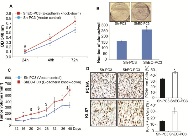 E-cadherin knock-down increases the proliferation of human PCA PC3 cells. (A) Multiplication rate of Sh-PC3 and ShEC-PC3 cells was determined by MTT assay. Data shown is mean ± SD of 12 samples. (B) Clone formation by Sh-PC3 and ShEC-PC3 cells was examined in a clonogenic assay as detailed in the methods. Number of clones with more than 50 cells were counted and presented in a bar diagram. Data shown is mean ± SD of 6 samples. (C-D) Sh-PC3 and ShEC-PC3 cells were injected subcutaneously in athymic nude mice, and average tumor volume (mean ± SEM) as a function of time is presented. Tumor tissues were analyzed for proliferation biomarkers (PCNA and Ki-67) by IHC. Percentage of PCNA and Ki-67 positive cells was calculated by counting the number of positive stained cells (brown stained) and the total number of cells at five arbitrarily selected fields from each tumor at 400x magnification. The data shown in the bar diagrams is the mean±SEM of 7–10 samples. *, p ≤ 0.001; #, p ≤ 0.01; $, p ≤ 0.05.