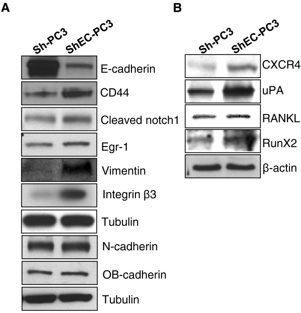 E-cadherin knock-down increases the expression of stemness, EMT, and bone metastasis biomarkers in PC3 cells . (A-B) Sh-PC3 or ShEC-PC3 cells were collected at similar confluency and total cell lysates were prepared and analyzed for the protein expression of E-cadherin, CD44, cleaved Notch-1, Egr-1, Vimentin, Integrin β3, N-cadherin, OB-cadherin, CXCR4, uPA, RANKL, and RunX2. Tubulin and β-actin were used as loading controls.